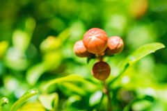 Sluit omhoog klein onrijp granaatappelfruit op boom royalty-vrije stock afbeelding