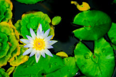 Sluit omhoog kleine bloeiende witte lotusbloem in de vijver Stock Fotografie