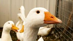 Sluit omhoog klem van een Witte Emden-Gans met andere ganzen in pen stock video