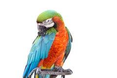 Sluit omhoog kleurrijke papegaaiara die op wit wordt geïsoleerd Royalty-vrije Stock Afbeeldingen