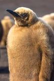 Sluit omhoog Koning Penguin Chick (Aptenodytes-patagonicus) Royalty-vrije Stock Foto's