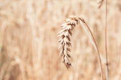 Sluit omhoog korrelgebied Één rijpe tarwe Oogstzomer Nederland, landbouw royalty-vrije stock fotografie