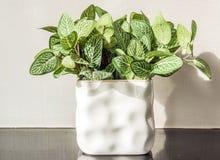 Sluit omhoog kunstmatige groene bladstruik in witte ceramische vaas Stock Afbeeldingen