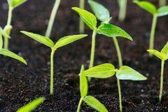 Sluit omhoog landbouwjonge plant Stock Foto's