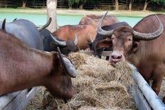 Sluit omhoog lange hoornbuffels die droog gras of stro in stallen eten stock foto