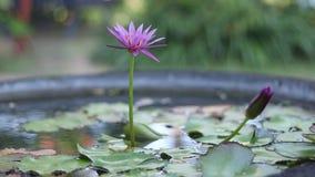 Sluit omhoog leliebloem in een water Aziaat in openlucht, tuin, dichtbij de oceaan, het eiland van Bali stock video