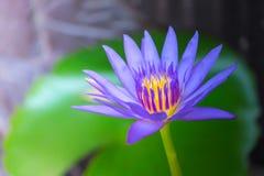 Sluit omhoog lotusbloem en bladeren op het water Stock Afbeeldingen