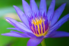 Sluit omhoog lotusbloem en bladeren op het water Stock Afbeelding