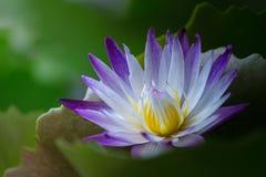 Sluit omhoog lotusbloem en bladeren op het water Royalty-vrije Stock Afbeeldingen