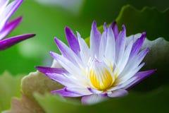 Sluit omhoog lotusbloem en bladeren op het water Stock Foto