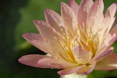 Sluit omhoog lotusbloem met groene achtergrond Stock Foto