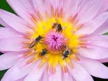Sluit omhoog lotusbloemstuifmeel Stock Foto