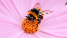 Sluit omhoog/macro van Bumble Bij verzamelend stuifmeel van roze bloem stock fotografie