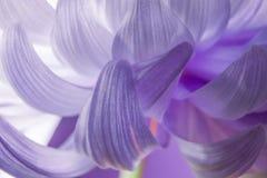 Sluit omhoog macro van de abstracte roze chrysant van het bloembloemblaadje Stock Foto