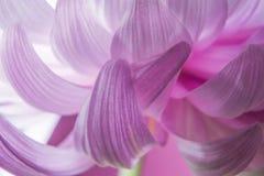 Sluit omhoog macro van de abstracte roze chrysant van het bloembloemblaadje Stock Foto's