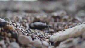 Sluit omhoog macro van krab wordt geschoten lopend op de kust van het rotsstrand van overzees die stock videobeelden