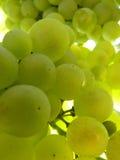 Sluit omhoog Macro van Rijpe Doorzichtige Druivencluster op Wijnstok Stock Afbeelding