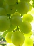 Sluit omhoog Macro van Rijpe Doorzichtige Druivencluster op Wijnstok Stock Fotografie