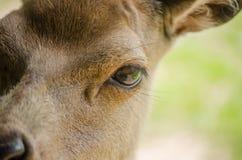 Sluit omhoog Macro van Rode Herten Hind Face met Nadruk op het Oog Unus Stock Afbeelding