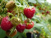 Sluit omhoog Macro van Waterdalingen op Rood Frambozenfruit Bush Royalty-vrije Stock Foto