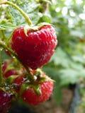 Sluit omhoog Macro van Waterdalingen op Rood Frambozenfruit Bush Royalty-vrije Stock Foto's