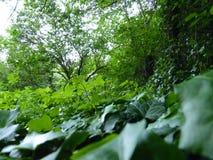Sluit omhoog Macrodetail van Groene Ivy Covering Ground royalty-vrije stock afbeeldingen