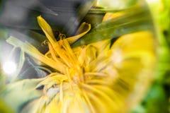 Sluit omhoog macromening door lensbal van gele bloembloemblaadjes op abstracte groene achtergrond stock afbeeldingen