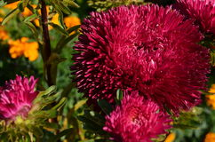 Sluit omhoog magenta aster in de tuin Royalty-vrije Stock Fotografie