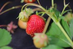 Sluit omhoog mening van aardbeien Wit en rood in nadruk Mooie aardachtergrond Royalty-vrije Stock Fotografie
