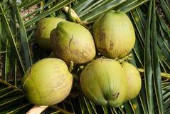 Sluit omhoog mening van aardige verse kokosnoot Royalty-vrije Stock Afbeelding