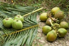 Sluit omhoog mening van aardige verse kokosnoot Stock Afbeelding