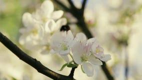 Sluit omhoog mening van bloeiende kersenboom en bij die van één bloem aan een andere vliegen Geen mensen rond Buiten het schieten stock footage