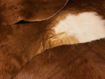 Sluit omhoog mening van bruin en wit koebont, echte echte haartekst Royalty-vrije Stock Fotografie