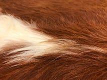 Sluit omhoog mening van bruin en wit koebont, echte echte haartekst Royalty-vrije Stock Foto