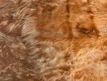 Sluit omhoog mening van bruin koebont, echte echte haartextuur Stock Fotografie