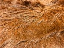 Sluit omhoog mening van bruin koebont, echte echte haartextuur Royalty-vrije Stock Fotografie