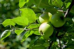 Sluit omhoog mening van de boomtak met organische appel op tak, vruchten in boomgaard royalty-vrije stock foto