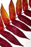 Sluit omhoog mening van de herfst rood blad op witte achtergrond Stock Fotografie