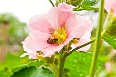 Sluit omhoog mening van de het werk bij op een roze stokroosbloem Stock Foto's