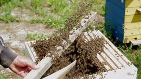 Sluit omhoog mening van de het werk bijen op honingscellen stock footage