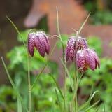 Sluit omhoog mening van drie mooie die Fritillaria-meleagrisbloemen met dauw na regen worden behandeld royalty-vrije stock fotografie