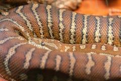 Sluit omhoog mening van een een Centralian-tapijtpython of bredli van Morelia in Australië royalty-vrije stock fotografie