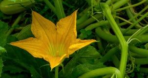Sluit omhoog mening van een gele courgettebloem in de groene tuin
