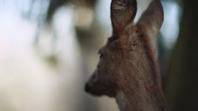 Sluit omhoog mening van een jonge bambi, fawn herten die het gras kauwen, en rond op reservegebied kijken Geen mensen rond stock footage