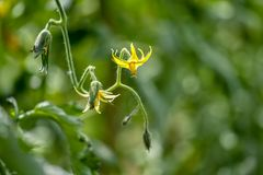 Sluit omhoog mening van een tomatenbloem die in een tuin tot bloei komen stock fotografie