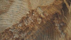 Sluit omhoog mening van gesneden boomstam met het rawling van mieren 4K stock footage