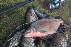Sluit omhoog mening van grote zoetwater gemeenschappelijke brasem vissen en visserij ro stock foto's