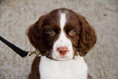 Sluit omhoog Mening van het Engelse Puppy van het Spaniel van de Aanzetsteen Stock Foto's
