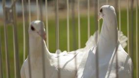 Sluit omhoog mening van kooi met witte buiten gevestigde duiven stock videobeelden