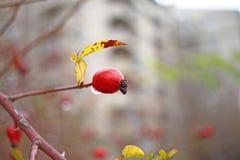 Sluit omhoog mening van rode rozebottel Behang voor aard Waterdalingen die van rozebottelsboom druipen De achtergrond van de dekk royalty-vrije stock afbeelding